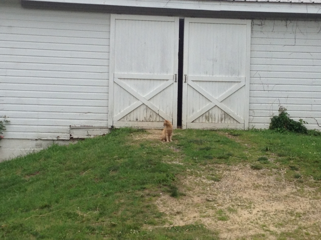 Carmello guards the barn