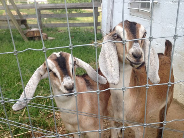 Our new goats! 